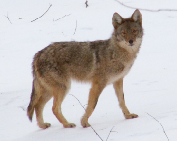 Coyote Hunting Videos